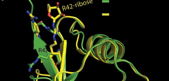 Klein, aber entscheidend: Kristallstruktur von Ubiquitin (grün) und modifiziertem Ubiquitin (gelb). Modifiziertes Ubiquitin enthält eine zusätzliche Phosphoribosyl-Gruppe an der Aminosäure in Position 42. Die Überlagerung beider Bilder (Mitte) verdeutlicht den kleinen, aber entscheidenden Unterschied in der dreidimensionalen Struktur des Proteins. (Grafik: Cell)