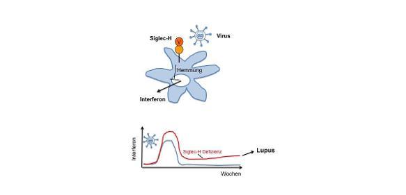Protein Siglec-H