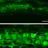 Unter dem Mikroskop (konfokalmikroskopische Aufnahme): Der AM-Pilz (grün) erreicht die innere Wurzelrinde und bildet dort die namensgebenden Arbuskeln (s. Pfeil; baumartige Struktur, Latein arbor = Baum). (Abbildung: Carolin Heck/KIT)