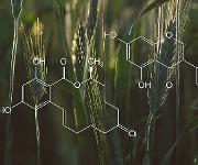 Östrogenwirksame Substanzen sind z.B. im Getreide zu finden