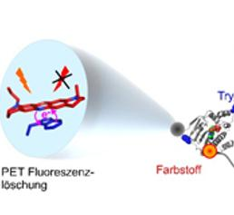 Die Kombination aus Farbstoffmolekül und Tryptophan liefert bisher ungekannte Einblicke in die Bewegungen des Proteins Hsp90. (Grafik: Hannes Neuweiler)