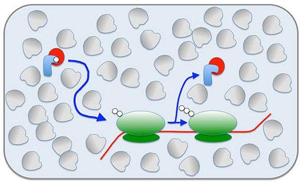 Proteinsynthese: Gedrängel in der Zelle