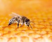 Gift schützt vor Gift: Bienengift-Immunantwort stärkt Hypothese zum Ursprung von Allergien