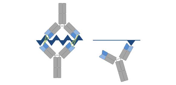 Antikörper, die sich gegen nebeneinander liegende Epitope richten, können kooperieren