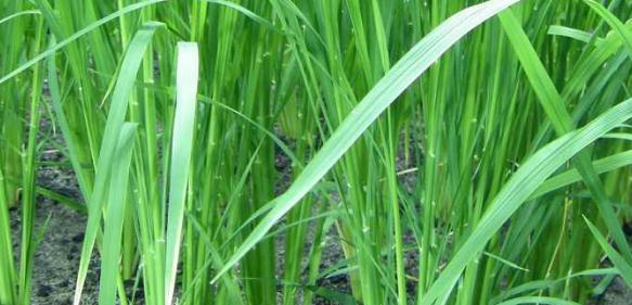 Reispflanzen im Gewächshaus