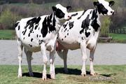 Transgene Tiere als Modellorganismen: Biotech - made in USA