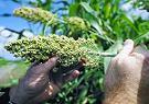 News: Forscher analysieren Genom hitze- und dürreresistenter Getreidepflanze