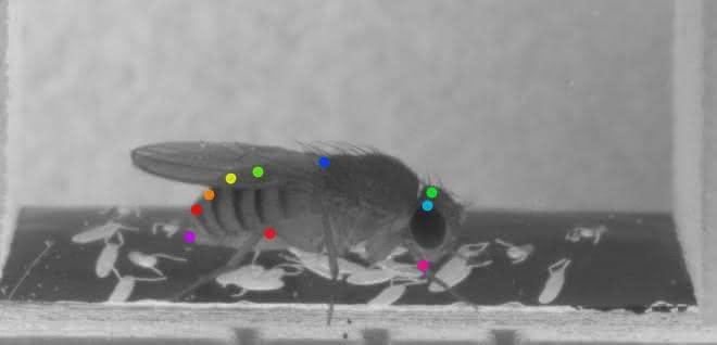 Eierlegende Fruchtfliege, deren Körperteile mit DeepLabCut identifiziert wurden.