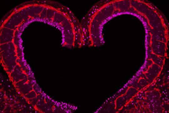 Mikroskopische Aufnahme eines angefärbten Gefäßschnitts aus der Hirnrinde einer Maus