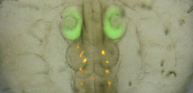 Medaka-Embryo mit grün fluoreszierendem Protein