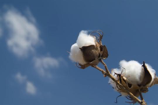 BASF hat den Erwerb einer Reihe von Geschäften und Vermögenswerten von Bayer, darunter auch wichtige Feldkulturen wie Baumwolle, abgeschlossen.