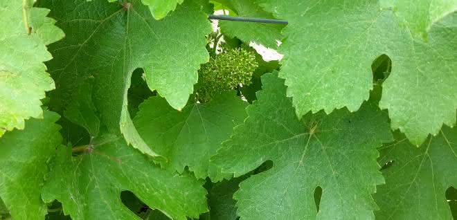 Auch bei der Photosynthese spielen Mangan-Verbindungen als Katalysatoren eine Rolle.