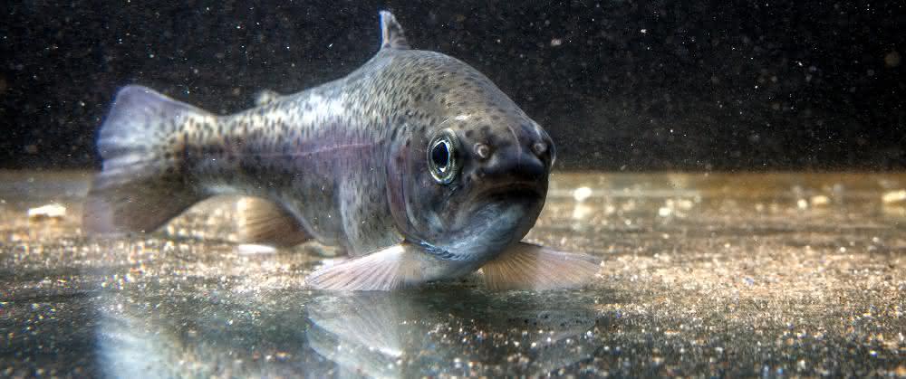 Spurenschadstoffe im Wasser: Welche Klärtechniken Fischen helfen