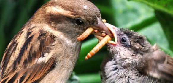 Vogel füttert Küken mit Käferlarve