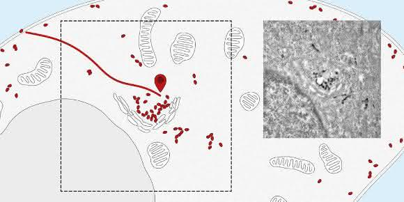 Nanobodies verfolgen Rezeptoren von der Zelloberfläche zum Zentrum der Zelle (zum Golgi-Apparat). Rechts: Elektronenmikroskopische Aufnahme. (Bild: Universität Basel, Biozentrum)