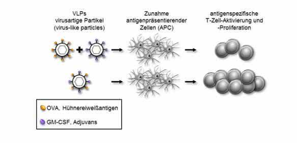 Die Kombination von Antigen und Adjuvans in virusartigen Partikeln (unten) führt zu einer stärkeren Immunreaktion als bei getrennter Präsentation. Dies könnte für Impfstoffe genutzt werden. (Bild: PEI)