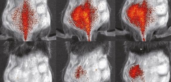 Immunzellen (rot) in einer Maus