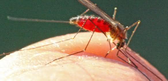 Anopheles-Mücke auf der Haut