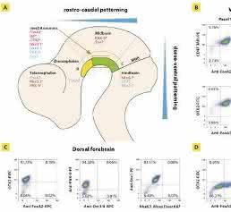 Zellen mit Zukunftspotenzial: Differenzierung und Expansion pluripotenter Stammzellen im geschlossenen System