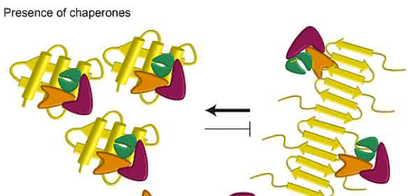 Molekulare Chaperone: Helfer gegen Chorea Huntington
