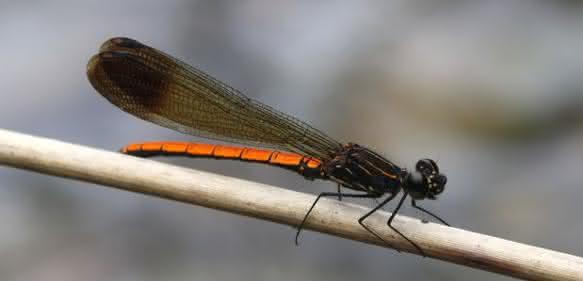 Trägt ihren Anteil zur Artenvielfalt bei: Kleinlibelle (Zygoptera). (Bild: Senckenberg)