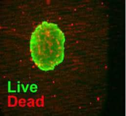 Lebend-/Totzellfärbung