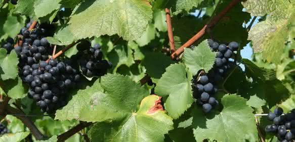 Blaue Weintrauben an Reben