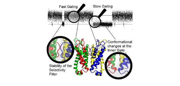 Illustration: Schließverhalten und Struktur des viralen Kaliumkanals Kcv