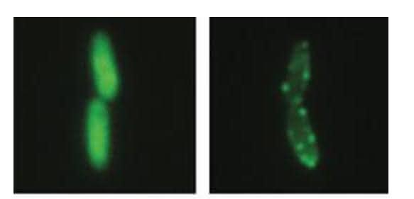 Links: Glatte Bakterienkolonien (Mitte) im Zellinneren wachsen innerhalb des Kulturmediums (unten). Rechts: Faltige Kolonien (Mitte) bilden Matten an der Oberfläche der Kulturflüssigkeit (unten). (Bild: MPI f. Evolutionsbiologie/ P. Rainey)