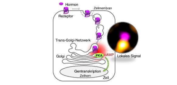 Grafik zum Modell der Signalkette in der Zelle