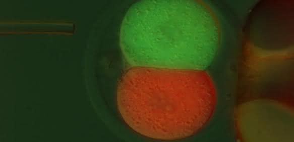 Jeder Zelle eine eigene Farbe: Nach der ersten Zellteilung der befruchteten Eizelle werden die zwei Zellen mit einem rot bzw. grün fluoreszierenden Marker injiziert. (Bild: MPI Münster / E. Casser)