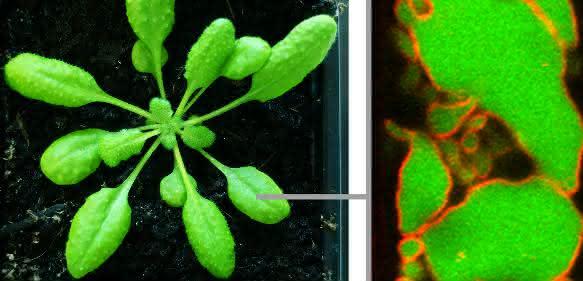 Intrazelluläre Post: Neue Mechanismen des Proteintransports in der Pflanzenzelle entdeckt