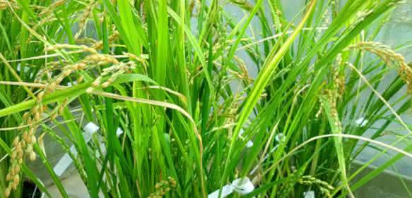 Pflanzenzüchtung: Neue Reissorte mit Beta-Karotin und Spurenelementen