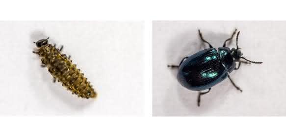 Blattkäfer-Larve und ausgewachsenes Insekt. (Foto: Universität Bielefeld)