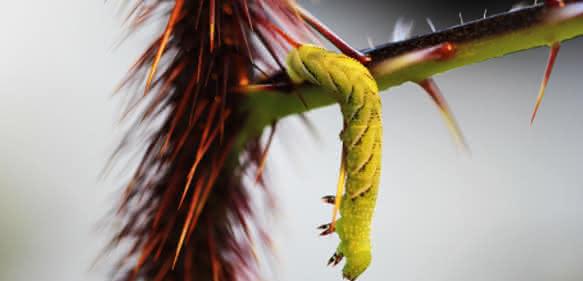 Raupe des Tabakschwärmers Manduca sexta überwindet Stachel