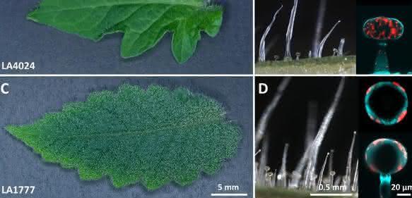 Glanduläre Trichome der Kulturtomate und einer wildwachsenden Art (Bild: IPB)