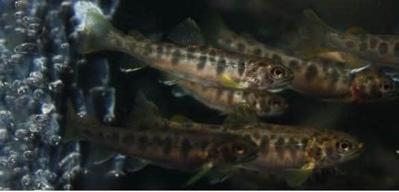 Junge Regenbogenforellen in Aquakultur