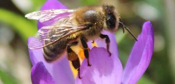 Heimische Biene auf Blüte