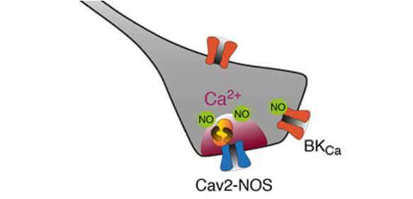 Elektrochemische Kopplung durch Superkomplexe: Der Calciumkanal (Cav2) liefert Calciumionen (Ca2+), die das Enzym NO-Synthase (NOS) zur Herstellung des Botenstoffes NO aktivieren. (Grafik: Bernd Fakler)