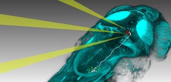 Mit neuen Methoden können Neurobiologen einzelne Nervenzellen im Zebrafischgehirn gezielt mit Licht aktivieren und beobachten, wie sich die Aktivität im Gehirn ausbreitet, um dann ein Verhalten auszulösen (Bild: MPI für Neurobiologie / dal Maschio)