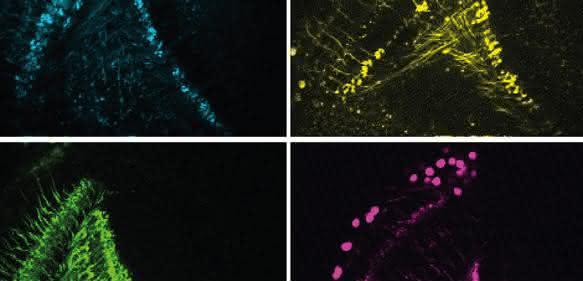Das Fliegenhirn errechnet aus den Signalen verschiedener Zelltypen (vier davon hier farblich dargestellt) Bewegungen – wobei die Bewegungserkennung schneller wird, sobald sich die Tiere bewegen. (© MPI für Neurobiologie / Meier, Serbe & Arenz)