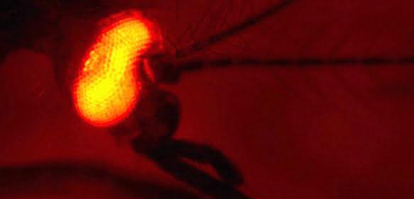 Die erfolgreiche genetische Modifizierung des Insekts wird mithilfe eines fluoreszierenden Proteins sichtbar gemacht, das hier im Auge der Mücke produziert wird. (Foto: Dr. Irina Häcker)
