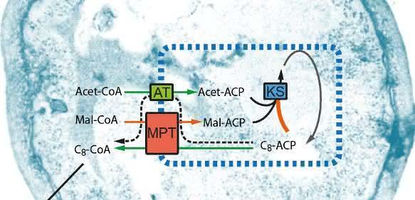 Mit einer modifizierten Fettsäuresynthase (schematisch dargestellt durch ihre synthetischen Eigenschaften innerhalb der blauen Box) kann man eine Hefezelle dazu bringen, kurzkettige Fettsäuren zu produzieren.