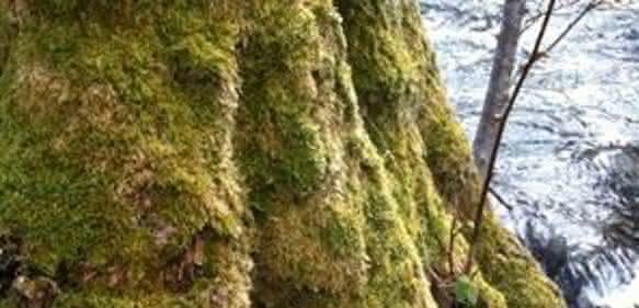 Mit Moos bewachsener Baumstamm