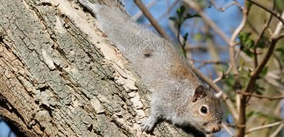 Das nordamerikanische graue Eichhörnchen hat das heimische rötliche Eichhörnchen in Großbritannien nahezu verdrängt. (Copyright: Tim M. Blackburn, University College London)