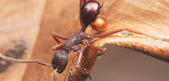 Die neu entdeckte Käferart Nymphister kronaueri lässt sich auf dem Rücken von Treiberameisen transportieren und sieht dabei deren Hinterteil täuschend ähnlich. (Bild: M. Maruyama)