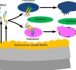 Enterococcus mundtii-Darmbakterien