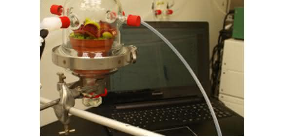 Ein Forschungsteam um Prof. Dr. Heinz Rennenberg und Lukas Fasbender vom Institut für Forstwissenschaften der Universität Freiburg hat nachgewiesen, dass die Venusfliegenfalle aus ihrer Beute auch Energie gewinnt. (Foto: Lukas Fasbender)