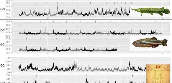 Der Vergleich von Knochenhecht (o.), Zebrafisch als Vertreter der Knochenfische (mi.) und Mensch als Vertreter der Säugetiere (u.) hinsichtlich Schwankungen und Homogenität der Nukleotid-Anteile G und C in Megabasen zeigt, dass die Ähnlichkeit beim Knochenhecht mit dem Menschen größer ist als mit dem Zebrafisch. (Foto: Symonova)