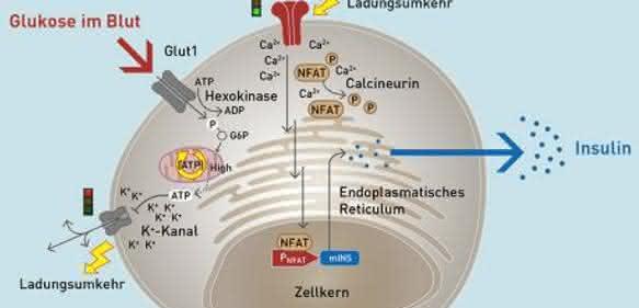 künstliche HEK-Beta-Zelle